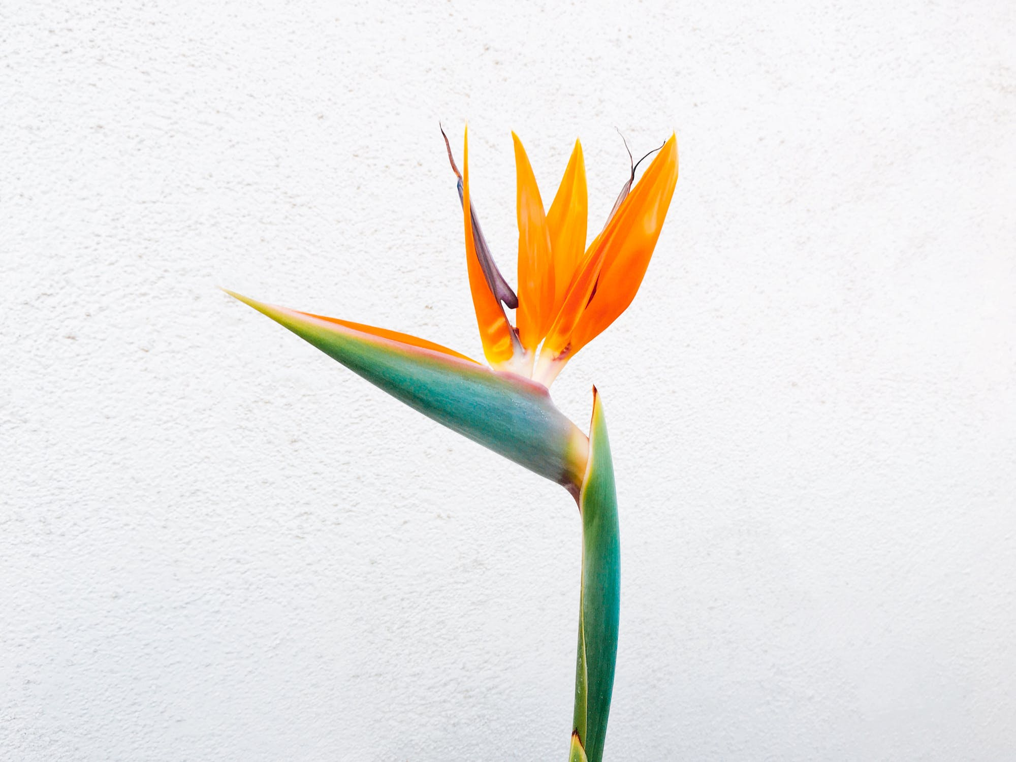 birds of paradise crane flower